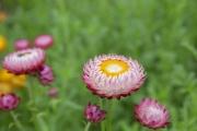 ピンク色のムギワラギク(ヘリクサム)