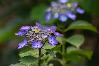 紫色のアジサイ