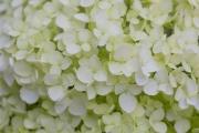 アジサイ・アナベルの花のアップ