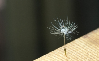 たんぽぽの綿毛と水滴