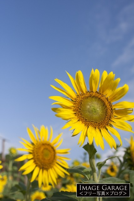 ヒマワリの花のフリー画像(無料写真素材)