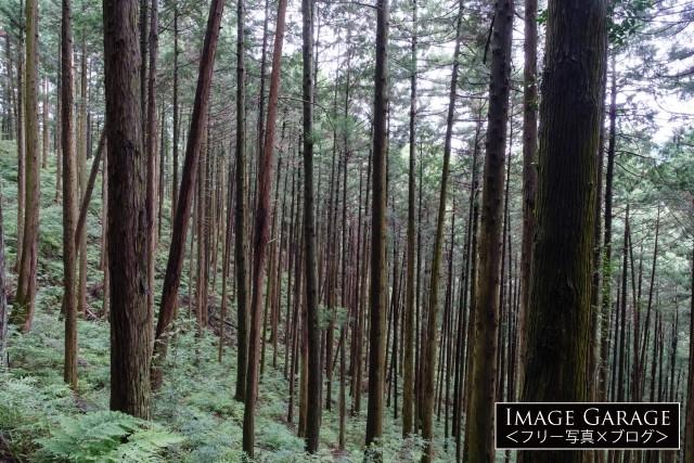 群馬県の杉林のフリー画像(無料写真素材)
