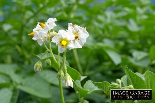 じゃがいもの花のフリー画像(無料写真素材)