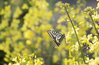 葉ボタンの黄色い花とアゲハ蝶