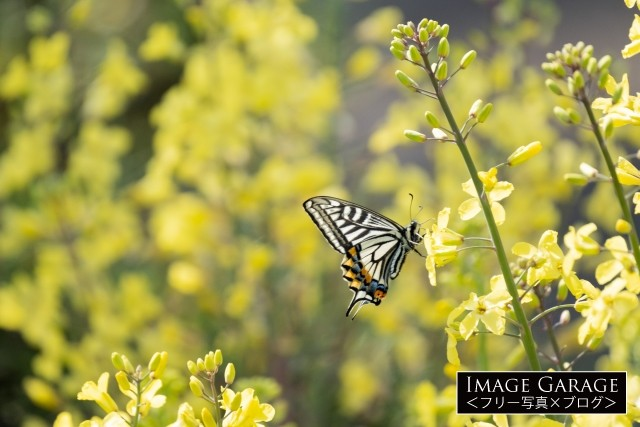 葉ボタンの黄色い花とアゲハ蝶のフリー画像(無料写真素材)