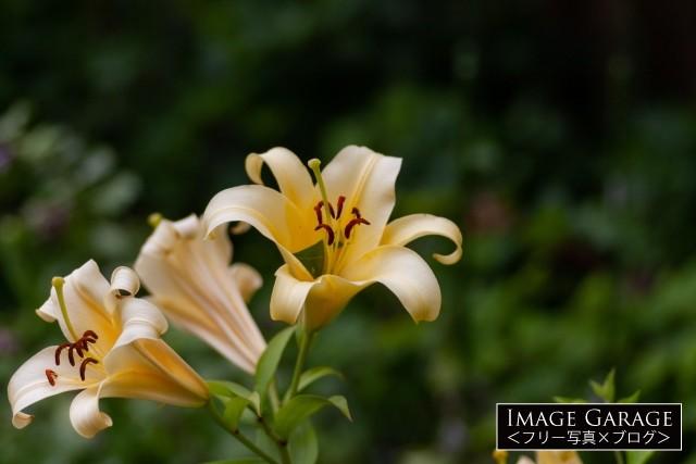 黄色いユリのフリー画像(無料写真素材)