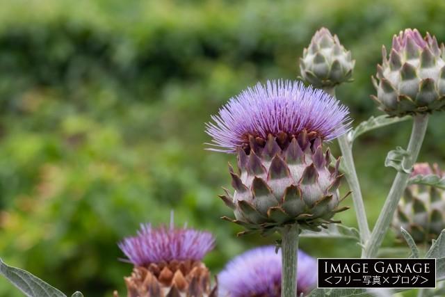 アーティチョークの花のフリー画像(無料写真素材)