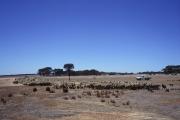 オーストラリアの羊牧場