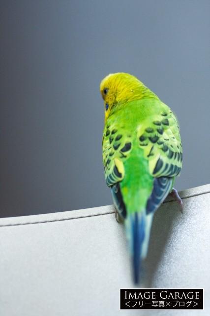 背中を向けたセキセイインコのフリー画像(無料写真素材)