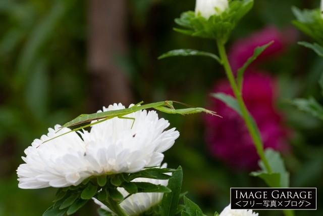 前足を伸ばして擬態するカマキリのフリー写真素材(無料画像)