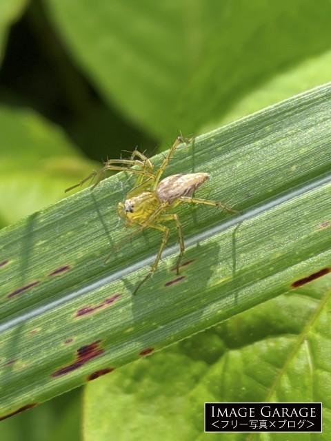 ススキの上のササグモのフリー画像(無料写真素材)