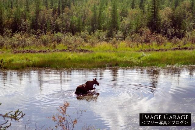 水浴びをするヘラジカのフリー画像(無料写真素材)