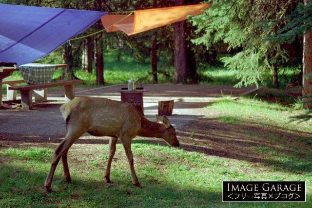 キャンプ場にやってきたエルク(ワピチ)の赤ちゃんのフリー画像(無料写真素材)