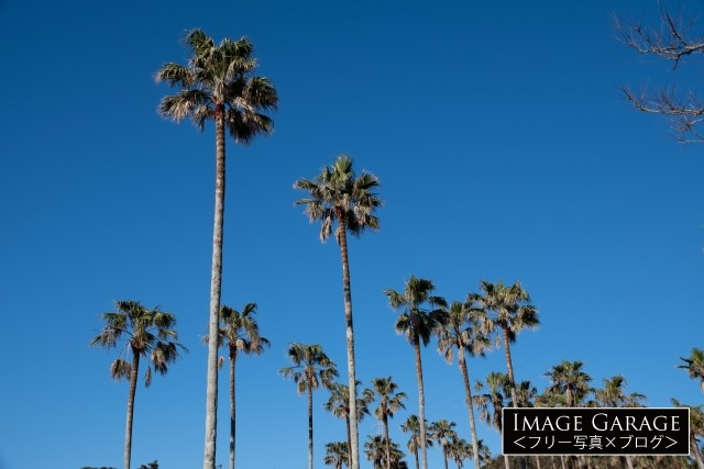 椰子の木(千葉館山)のフリー画像(無料写真素材)