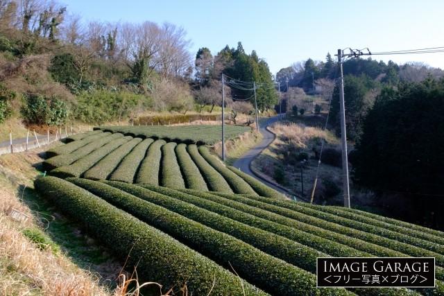 茶畑(神奈川松田町)のフリー画像(無料写真素材)