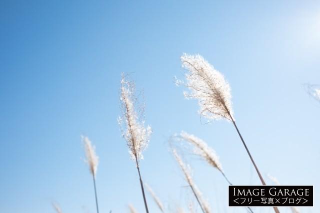ススキの穂のフリー画像(無料写真素材)